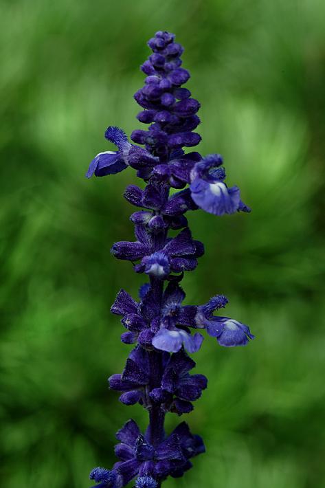 purplesalvia.jpg