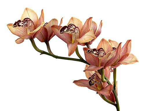 Cymbidium Pebbles 'Santa Barbara'