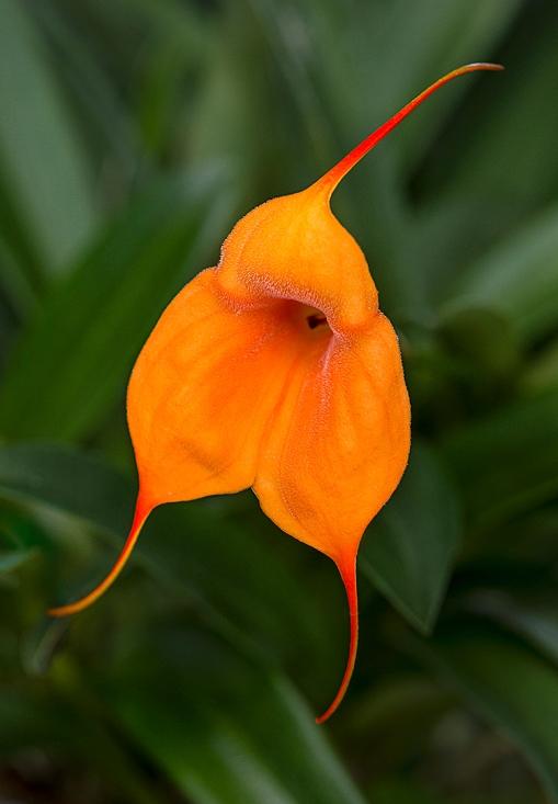 Orchid Peach Allure lorez