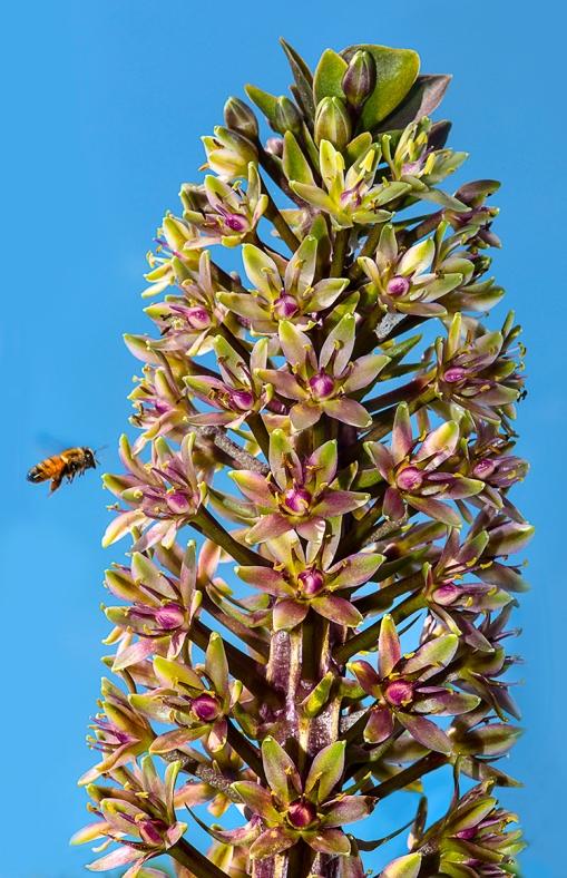 Honeybee Eucomis