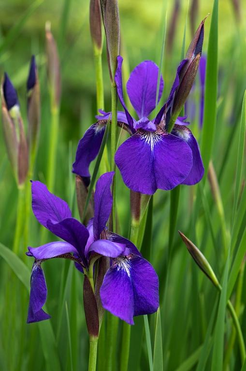 Irises lorez